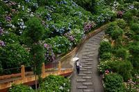 アジサイのお寺と海が見えるアジサイ園善峯寺・柳谷観音・舞鶴自然文化園 - 峰さんの山あるき