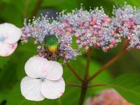 紫陽花と昆虫達Byヒナ - 仲良し夫婦DE生き物ブログ