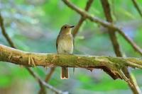 オオルリ幼鳥(多分) - じじい見習いtroutのアウトドアライフ