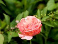 <梅雨>さなかに咲いた花 - 庭を眺めて…コーヒータイム