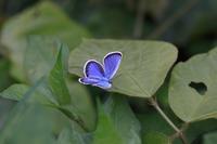 ヒメシジミ・メスグロヒョウモン・ミヤマカラスアゲハ - Lycaenidaeの蝶鳥撮影日記