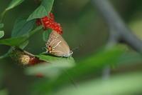 2020.6.16千葉県・ハンノキの湿地ミドリシジミ2020.6.26 (記) - たかがヤマト、されどヤマト