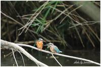 カワセミの池にてまだいた幼鳥。 - 今日のいちまい