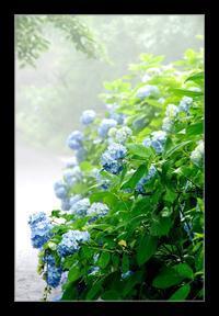 霧中の紫陽花 - Desire