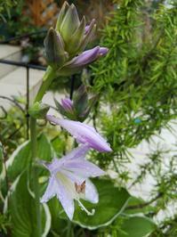 ギボウシの花と寄せ植えの移り変わり - 小庭の園芸日記