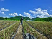にんにくの収穫作業に行って来ました~。 - 乗鞍高原カフェ&バー スプリングバンクの日記②