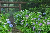 霧雨の「太平山」へ・・・紫陽花を - 『私のデジタル写真眼』