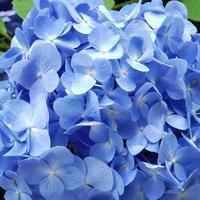 ブルーのアジサイいっぱい♪ - kedi*kedi