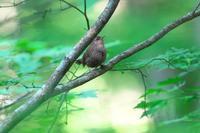 2020-117 枝に挟まったようなミソサザイ - 近隣の野鳥を探して2