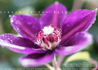 心はクレマチスの丘。sony α7RIV + SIGMA 70mm F2.8 DG MACRO Art #Sigma #MACRO - 東京女子フォトレッスンサロン『ラ・フォト自由が丘』〜恋フォトからはじめるさいとうおりのテーブルフォトと写真とカメラ〜