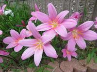 6月から咲くゼフィランサスとガクアジサイ - 活花生活(2)