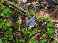 ブナ帯のチョウ - 飛騨山脈の自然