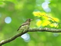 オオルリの幼鳥でしょうか? - コーヒー党の野鳥と自然パート3