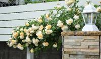 Garden Storyさんにて連載記事「実録!バラがメインの庭づくり第6話」がアップ頂きました。 - バラとハーブのある暮らし Salon de Roses