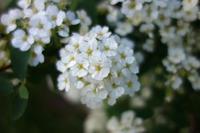 Bridal Wreath Spirea - ∞ infinity ∞