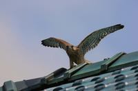 幼鳥は屋根の上、、 - ぶらり探鳥