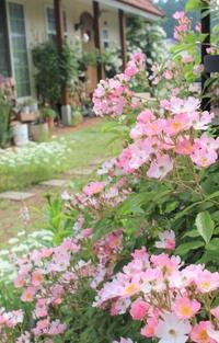 """つるバラ""""バレリーナ""""&いおり - ペコリの庭と時々パン"""