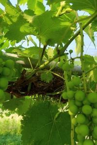 ぶどうの樹に鳥の巣 - ~葡萄と田舎時間~ 西田葡萄園のブログ