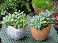 多肉植物「ペンデンス」と「樹氷」 - あるまじろの庭