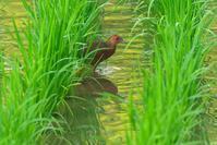 2020-118 今朝は、ヒクイナと出会いました。 - 近隣の野鳥を探して2