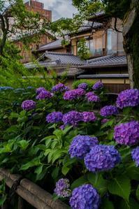 祇園白川の紫陽花 - 鏡花水月