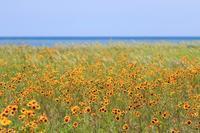 海の近くに咲くハルシャギク♪ - happy-cafe*vol.2