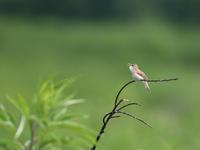 富士山近郊で夏鳥 - Bird Healing