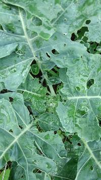 ブロッコリー花蕾なし - ウィズ(ゼロ)コロナのうちの庭の備忘録~Green's Garden~