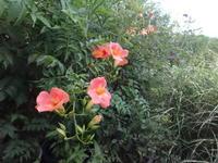 凌霄花 - だんご虫の花