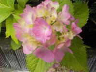 盛岡で紫陽花の開花始まる - 日頃の思いと生理学・病理学的考察