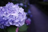 一つの紫陽花 - 日々の写真