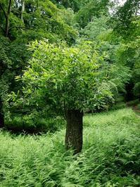 ヤマオヤジ・・・くつきの森「未来の森づくり」とモリアオガエル - 朽木小川より 「itiのデジカメ日記」 高島市の奥山・針畑からフォトエッセイ