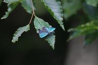 ジョウザンミドリシジミ・ゴイシシジミ - Lycaenidaeの蝶鳥撮影日記