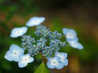 山紫陽花…④ - 花ごよみ~山野草に魅せられて~