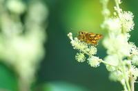 大威張りキマダラセセリ(黄斑挵蝶)他 - 身近な自然を撮る