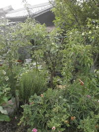 アキヒメの支柱 - 自然農☆☆☆菜園日記