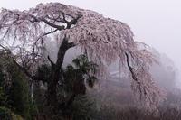 霧中の枝垂れ桜 - katsuのヘタッピ風景