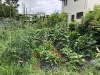 梅雨入りし、畑は初夏の装いへ - 家庭菜園ニストabuさん家の美味あれこれ