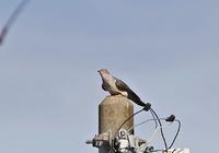 ・カッコウ - 鳥見撮り