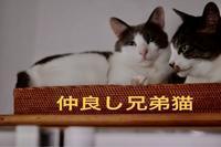 にゃんこ劇場「仲良し兄弟」 - ゆきなそう  猫とガーデニングの日記