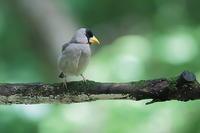 何故か1羽だけ水場に来るイカル - 上州自然散策3