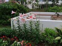 梅雨でも元気もりもり2020年6月下旬のマンション花壇 - ニッキーののんびり気まま暮らし