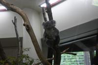 コアラのジャンプ - 動物園へ行こう