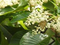 リョウブに集う蝶たち - *la nature*