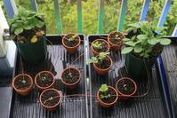 ノウゴウイチゴの苗作り - 週末は山にいます