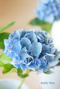 Eary Blue *Hydrangeas  秋色紫陽花 アーリーブルー - teddy blue