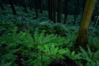 雨の日のコアジサイとシダの森大天井ヶ岳 - 峰さんの山あるき