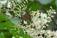 ■リョウブの花に来た蝶 3種20.6.28(トラフシジミ、クロアゲハ、モンキアゲハ) - 舞岡公園の自然2
