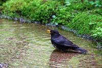 クロツグミの水浴び。 - 武蔵野の野鳥