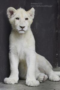 2020.6.27 東北サファリパーク☆ホワイトライオンのいっきゅう君とユズちゃん【White lion】 - 青空に浮かぶ月を眺めながら